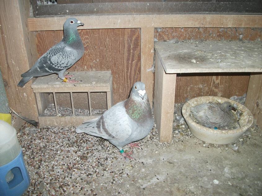 レース鳩・輸入銘血の鳩を育成・作出|古谷鳩舎