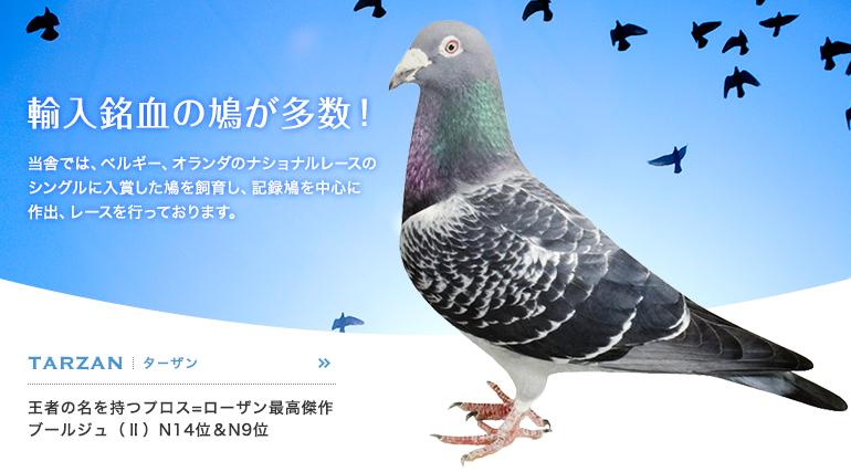 輸入銘血の鳩が多数! TARZAN(ターザン) 王者の名を持つプロス=ローザン最高傑作 ブールジュ(Ⅱ)N14位&N9位